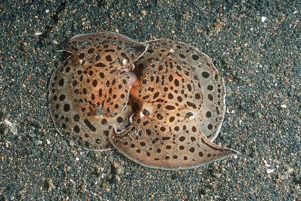 Moon-faced Euselenops (Euselenops luniceps) mating. Lembeh Strait, Sulawesi, Indonesia