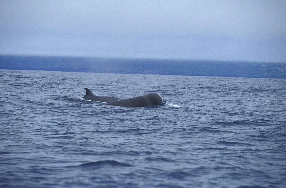 Northern Bottlenose Whales (Hyperoodon ampullatus). Azores, Portugal, Atlantic - 1012-154