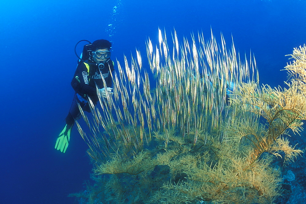 Razor or Shrimp Fish (Aeoliscus strigatus) diver and Black Coral. Gorontalo, Sulawesi, Indonesia