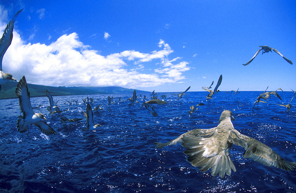 Shearwaters, or Gagaros in Portuguese, are sea birds that often encountered in the Azores Seas.