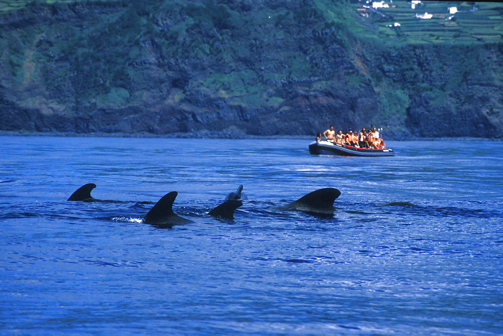 Short-finned Pilot Whale (Globicephala macrorhynchus) and whale-watchers. Azores, Portugal, Atlantic.