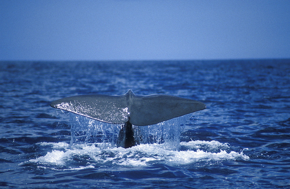Sperm Whale (Physeter macrocephalus) fluking. Azores, Portugal, Atlantic.