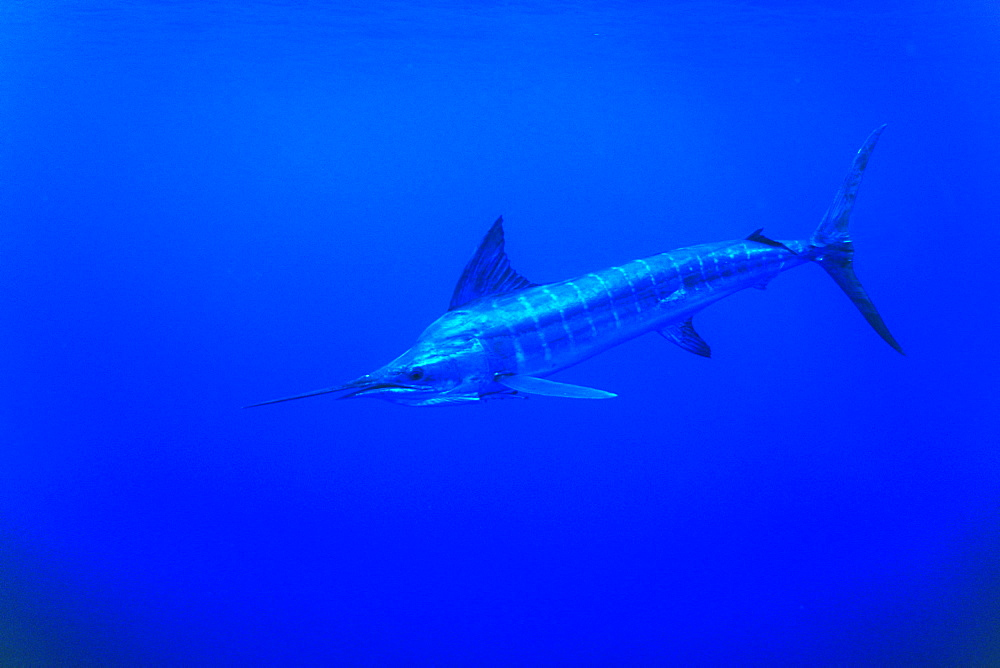 Striped Marlin, Tetrapturus audux. North Island, Three Kings, New Zealand.   (rr) - 1012-193