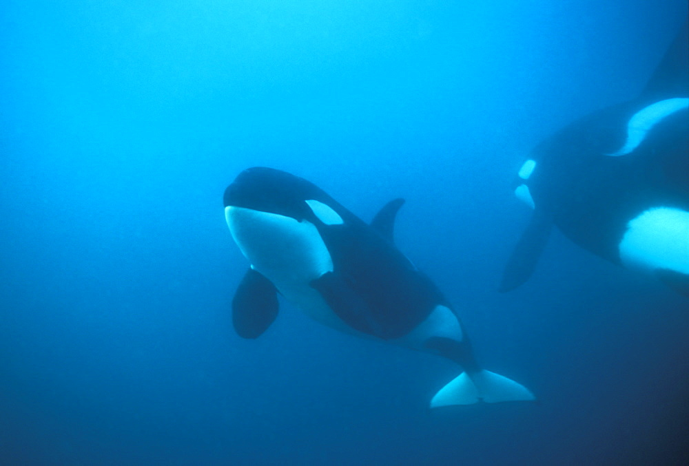 Orca (Orcinus orca) pair swimming close to each other. Akaroa, New Zealand.
