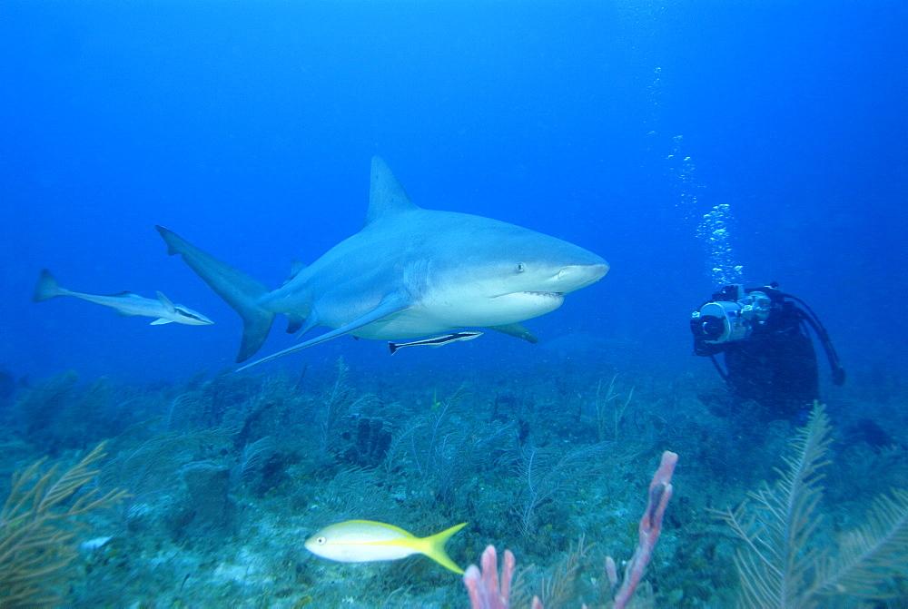 Bull Shark & diver. Bahamas, Atlantic Ocean - 1012-40