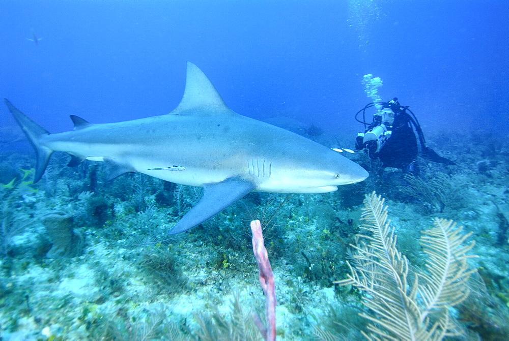 Bull Shark & diver. Bahamas, Atlantic Ocean - 1012-41