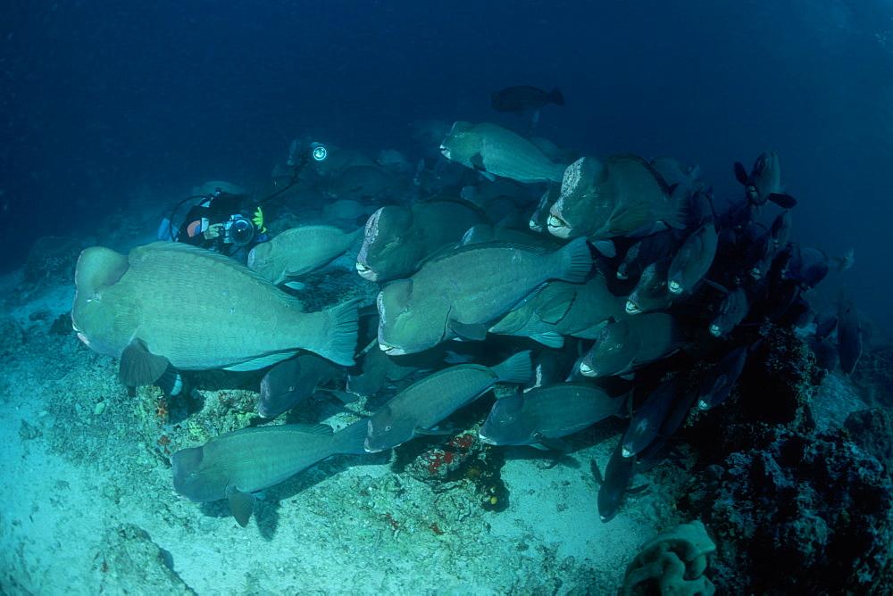 Bumphead Parrotfish & diver. Sipadan, Malaysia - 1012-42