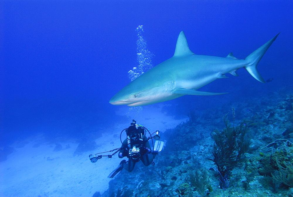 Caribbean Reef Shark & diver. Bahamas, Atlantic Ocean - 1012-45