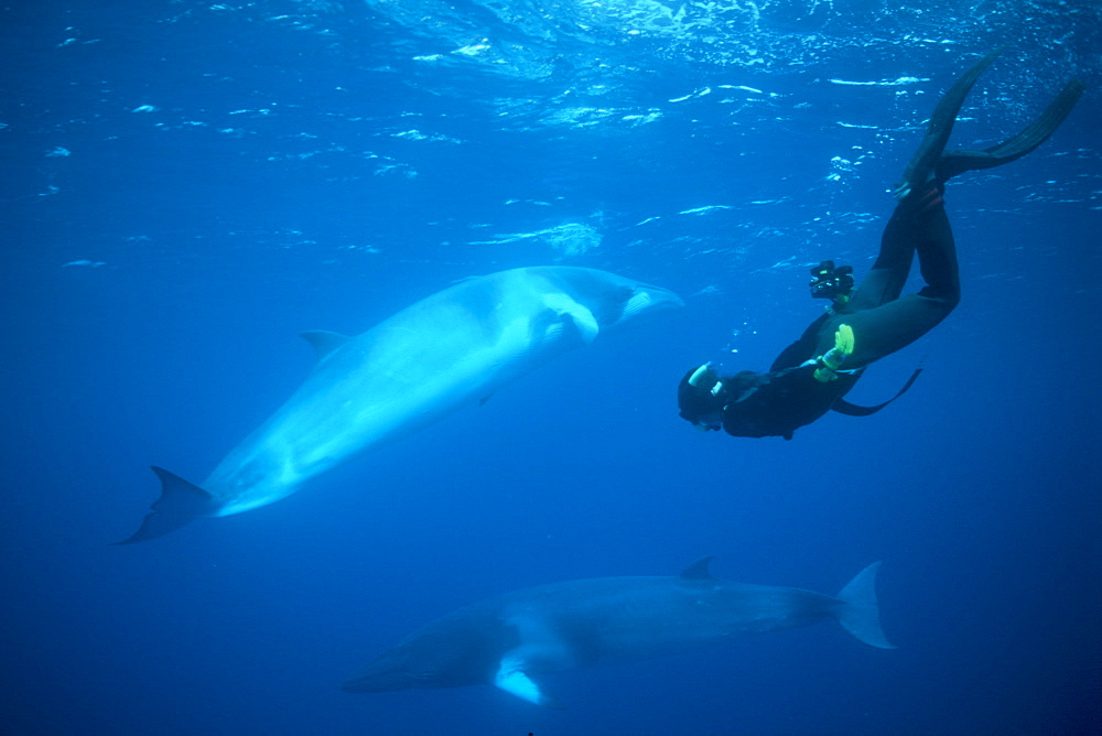 Dwarf Minke Whales & snorkeler. Coral Sea, Australia - 1012-51