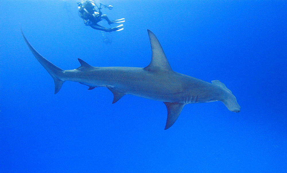 Great Hammerhead Shark & diver. Bahamas, Atlantic Ocean - 1012-61