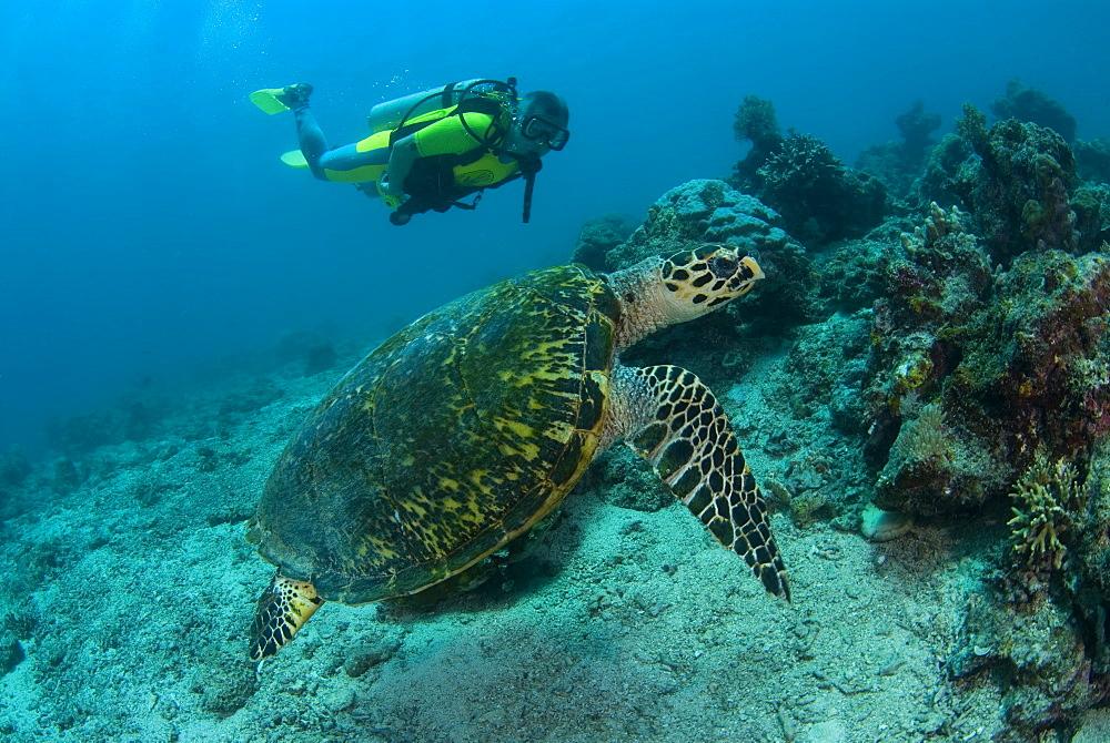 Hawksbill Turtle & diver. Kapalai Island, Malaysia - 1012-63