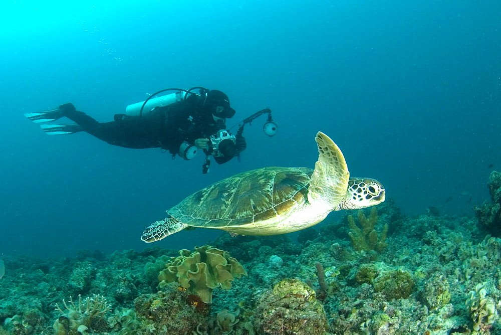 Hawksbill Turtle & diver. Kapalai Island, Malaysia - 1012-65