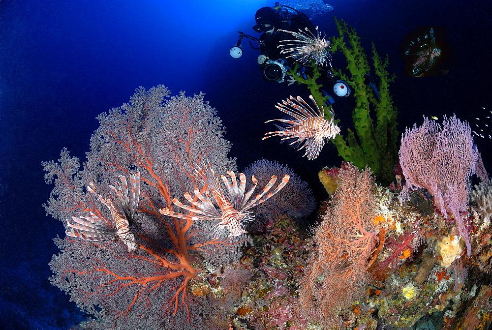 Volitans Lionfish & diver. Layang Layang, Malaysia