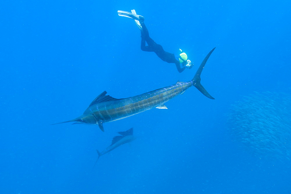 Sailfish & snorkeler. Mexico