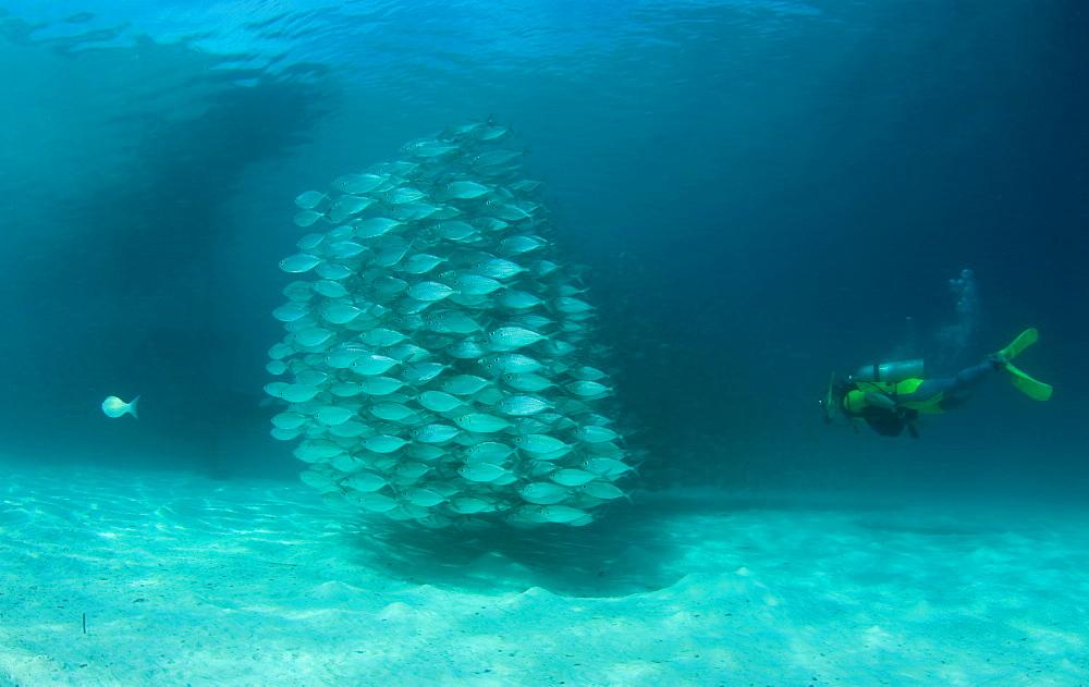 Scad & diver. Mabul Island, Malaysia - 1012-85