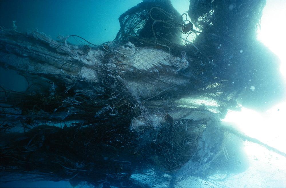 Basking sharks in nets   (rr)