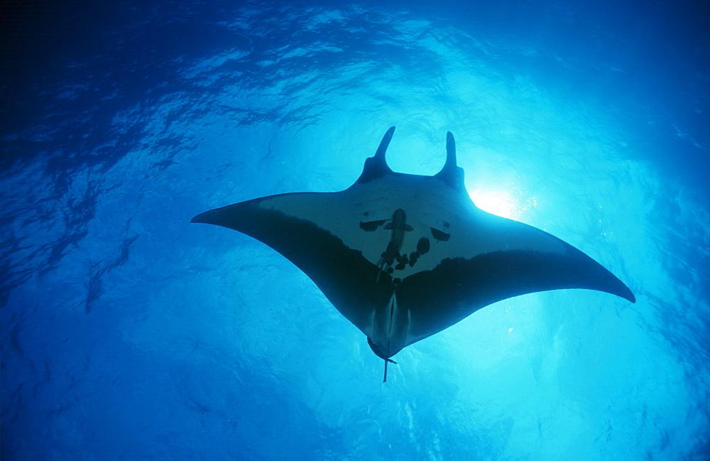 Giant manta ray overhead (Manta biostris). Mexico.