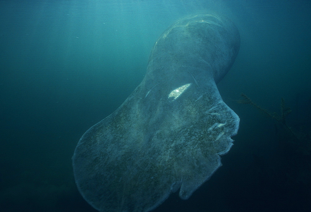 Manatee, tail damaged by boat propeller (Trichechus manatus). USA, Florida.   (rr)
