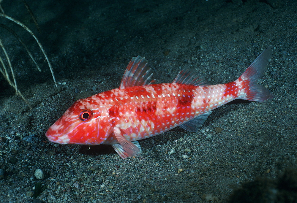 Goatfish. Indo Pacific