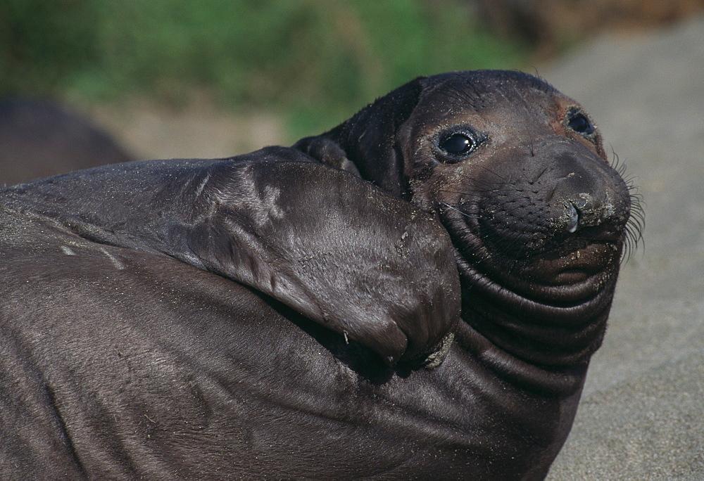 Northern Elephant Seal, juvenile (Mirounga angustirostris). USA, CA