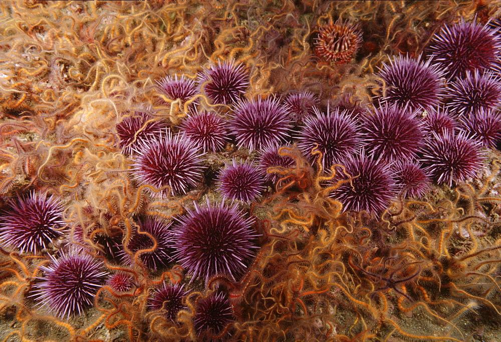 Purple sea urchins and brittle stars (Strongylocentrotus purpatus ). USA, Channel Islands, CA
