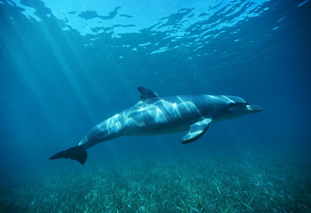 Bottlenose Dolphin over seagrass (Tursiops truncatus). Caribbean