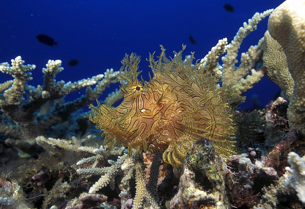 Leafy Scorpionfish on coral (Rhinopius aphenes). Indo Pacific.   (rr)