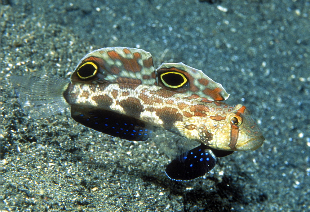 Spot fin goby (or crab-eyed goby) (Signigobius biocellatus). Indo Pacific - 1015-178