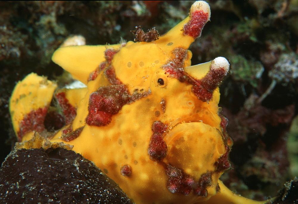 Anglerfish (Antennarius sp.). Indo Pacific