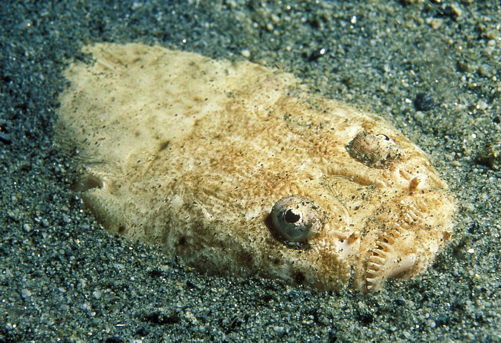 Stargazer buried in sandy bottom (Uranoscopus bicintus). Indo Pacific