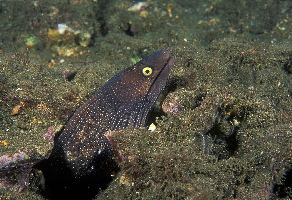 Moray Eel (Muraena argus). Mexico, Sea of Cortez