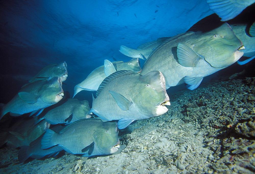 Bumphead parrotfish.