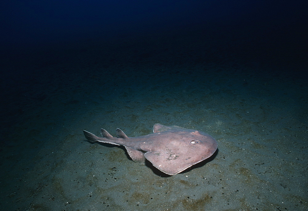 Cortez electric ray. Sea of Cortez, Baja Mexico