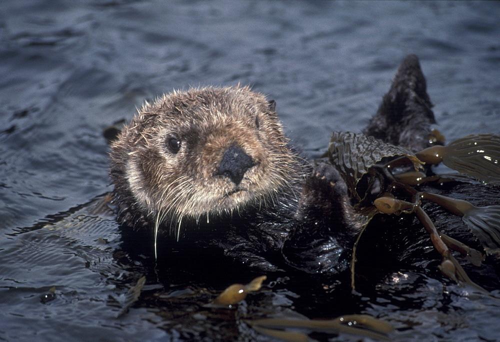 Sea Otter (Enhydra luris). USA, CA