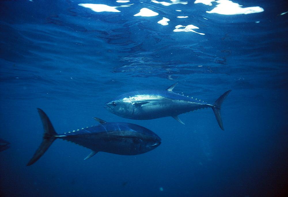 Tuna (two).   (rr)