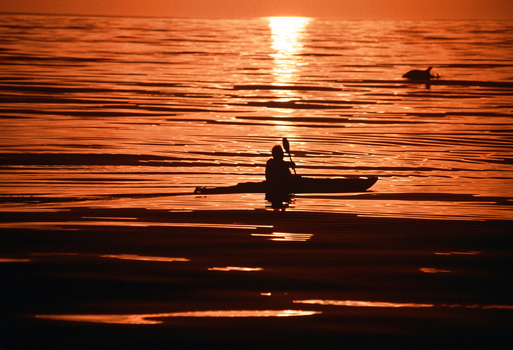 Kayaker at sunset with leaping dolphin.USA, Channel Islands, CA