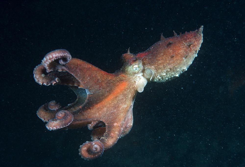 Octopus (Octopus sp). - 1015-220