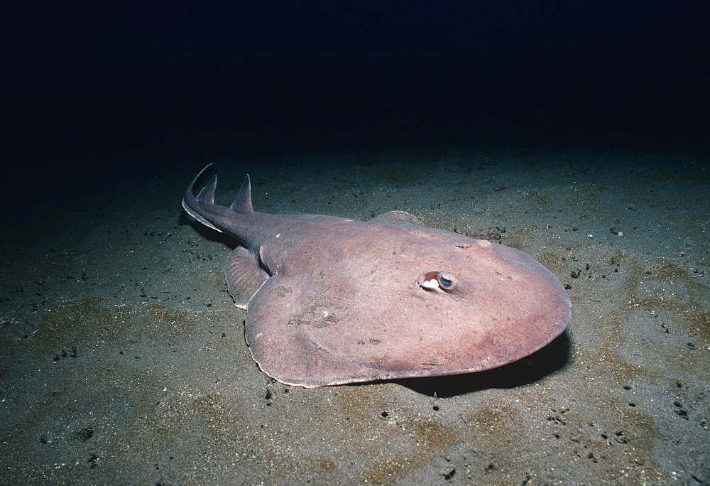 Electric ray.