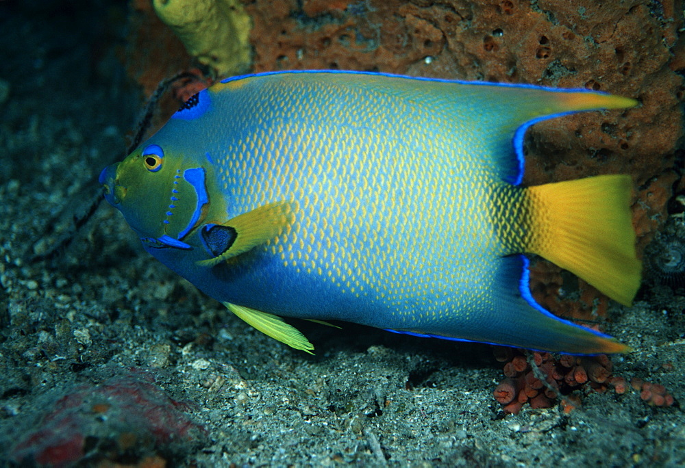 Queen angelfish (Holocanthus ciliaris). Caribbean
