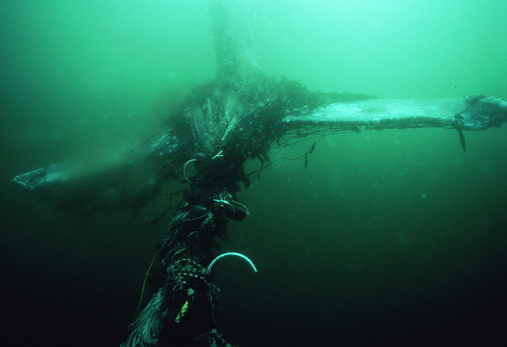 Gray whale: flukes entangled in drift net (Eschrictius robustus). USA, Channel Islands, CA
