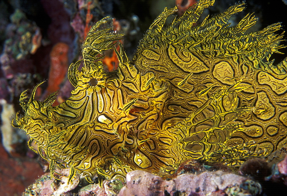Lacey Scorpionfish  (Rhinopius aphanes). Indo Pacific