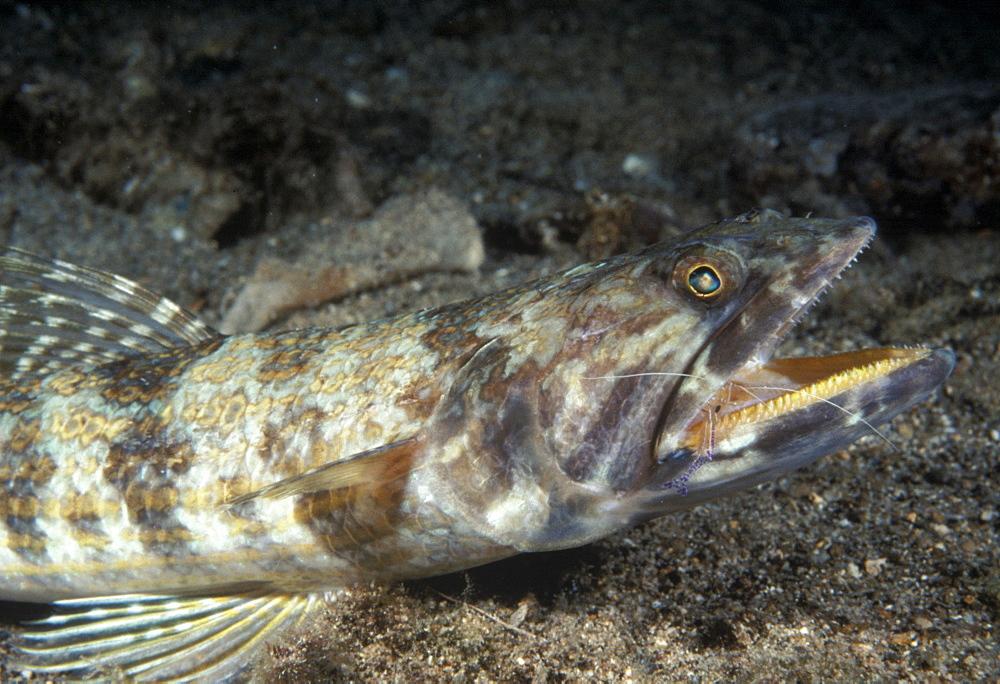 Lizardfish (Synodus variagatus). Indo Pacific