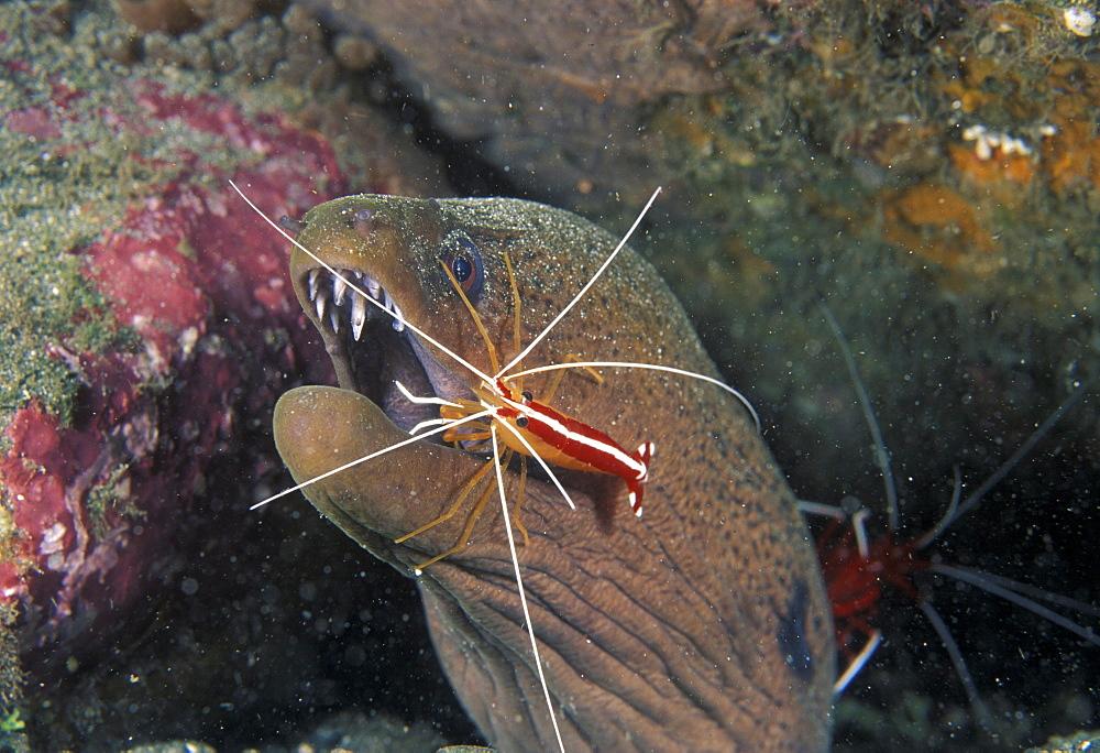 Cleaner shrimp works on moray eel.