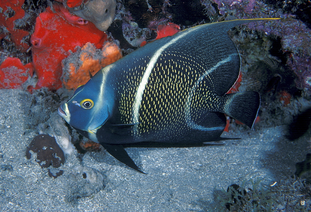 French angelfish (Pomocanthus paru).