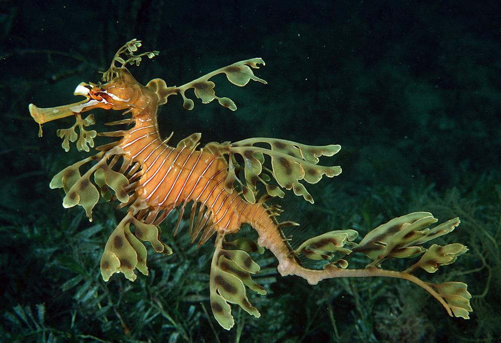 Leafy Seagragon (Phycodurus eques). Australia - 1015-275