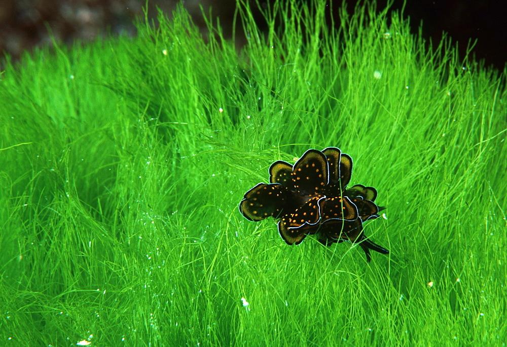 Nudibranch.Australia