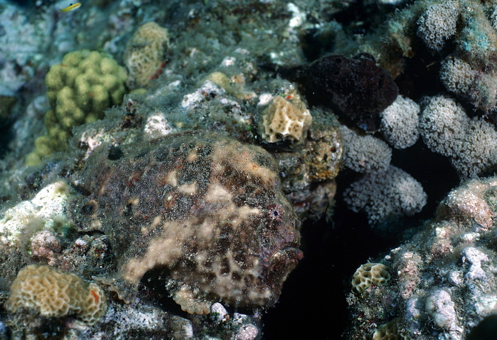 Anglerfish (frog fish) (Antennarius sp.). Indo Pacific