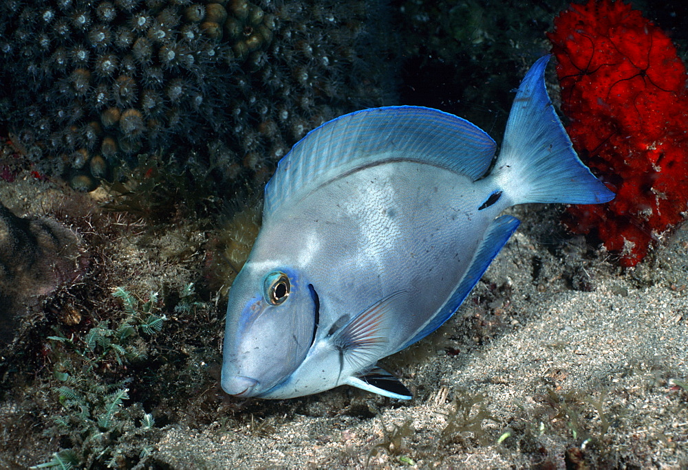 Surgeonfish (Acanthurus sp.).