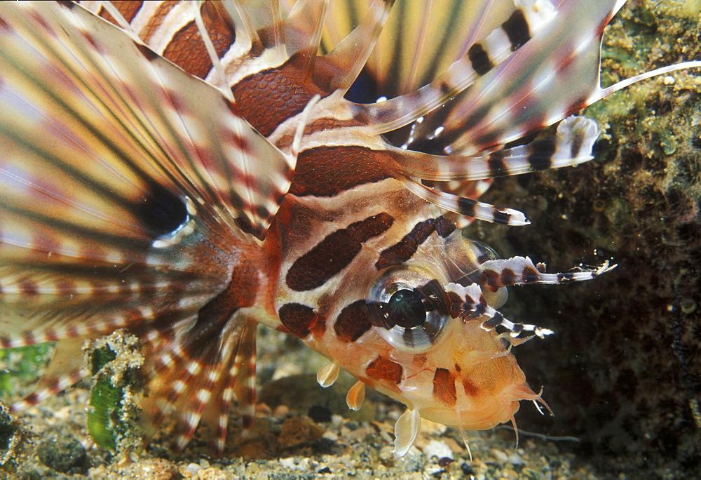 Zebra lionfish (Dendrochirus zebra). Indo Pacific