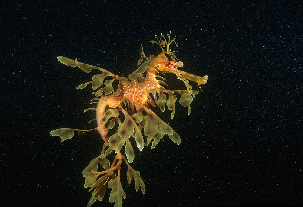 Leafy Seadragon  (Phycodurus eques). Australia